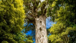 Kauri tree - Photo: volare2004/Bigstock.com